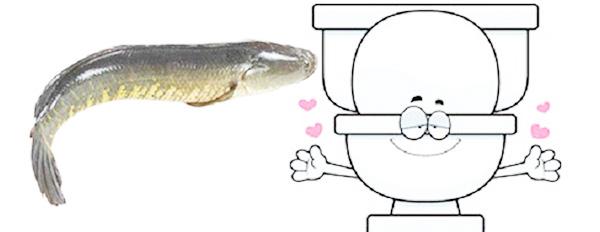 cách hút hầm cầu hiệu quả với cá lóc